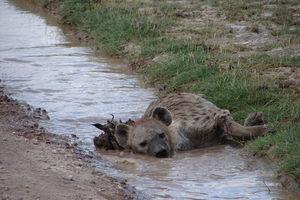 hyena - Amboseli - Kenia