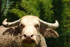 waterbuffel - Laos