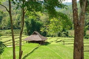 rijstveld bij lodge - Kamu Lodge - Kamu Village - Laos