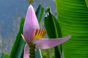 bananenplant - Laos