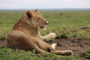 leeuwin - Serengeti - Tanzania - foto: Martijn Visscher