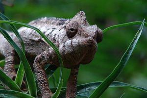 kameleon - Madagaskar