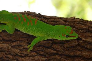 groene gekko