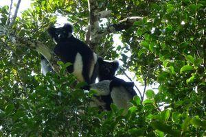 Indri gezin