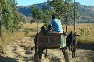 Karretje met zebu - Isalo National Park - Madagaskar