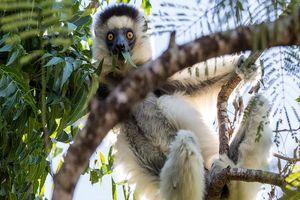Verreaux Sifaka in boom - Madagaskar