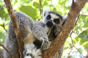 Anja Reserve lemur - Anja Reserve - Madagaskar