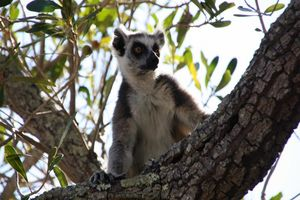 Lemuur close - up Isalo - Isalo - Madagaskar