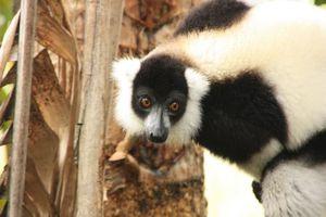 Lemuur op Lemur Island Andasibe - Andasibe - Madagaskar