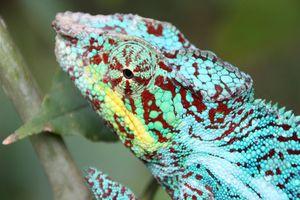 Blauwe Kameleon - Pereyras Reserve - Pereyras Reserve - Madagaskar
