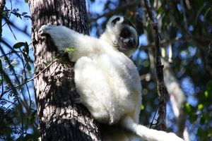 Lemuur Zombitse National Park - Zombitse National Park - Madagaskar