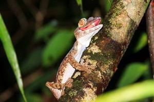 Gekko - Madagaskar