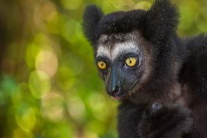 Indri lemur 1 - Madagaskar
