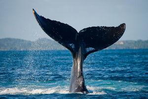 Walvis staart - Madagaskar