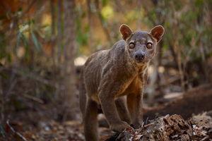 Fretkat - Madagaskar