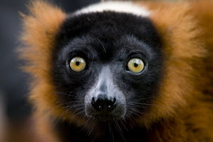 Close up lemur - Madagaskar