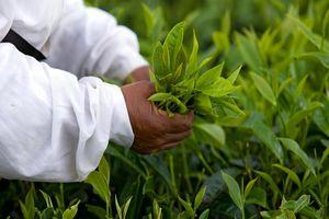 thee plukken - Mauritius