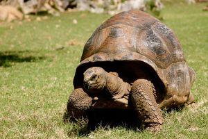 reuzenschildpad - Mauritius