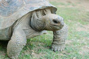 Schildpad, Rodrigues - Rodrigues - Mauritius