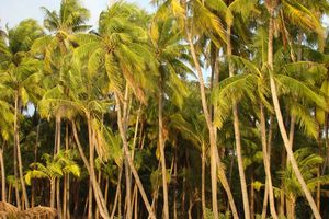 palmbomen ondergaande zon - Ngapali - Myanmar