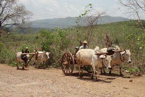 ossenkar in de omgeving van Pyin Oo Lwin - Pyin Oo Lwin - Myanmar