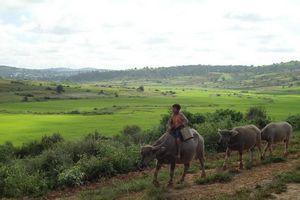 kindje op koe tussen Kalaw en Inle Lake - Kalaw - Myanmar