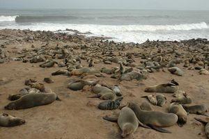 zeeleeuwen kolonie
