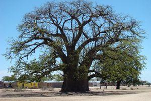 immense Baobab - Namibië