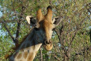 giraffe - Etosha - Namibië