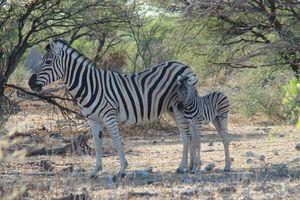 zebra met jong - Etosha - Namibië