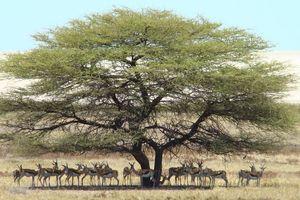 springbok onder boom - Etosha - Namibië