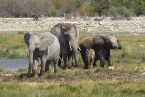 olifanten met baby in Etosha National Park - Namibië