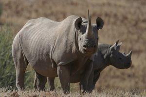 Damaraland neushoorns - Damaraland - Namibië