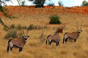 Gemsbokken in de Kalahari Desert - Kalahari Desert - Namibië