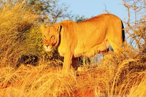Leeuw in de Kalahari Desert - Kalahari Desert - Namibië