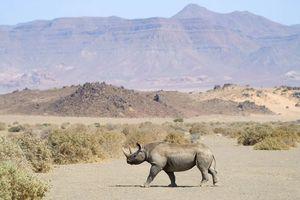 neushoorn Damaraland (2) - Damaraland - Namibië
