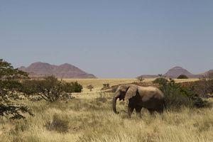 olifant  Damaraland - Damaraland - Namibië