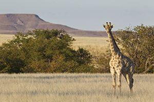 giraffe Damaraland - Damaraland - Namibië