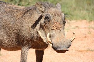 zwijn - Namibië