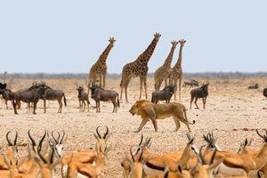 leeuw bij waterhole - Etosha - Namibië