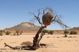 Weaver tree - Kalahari - Namibië
