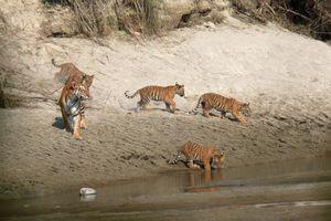 tijgers in Bardia - Bardia - Nepal