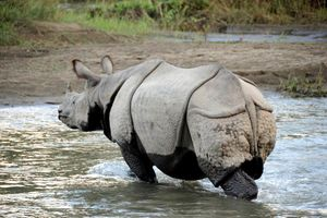 Chitwan neushoorn - Chitwan - Nepal - foto: Archief