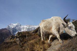 yak bij Namche - Namche - Nepal
