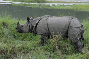 neushoorn in het Chitwan National Park (1)
