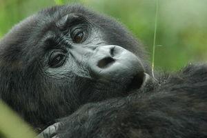 Gorilla - Uganda/Bwindi - Oeganda
