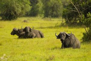 buffels in het gras - Lake Mburo National Park - Oeganda