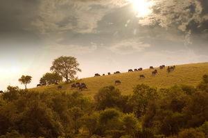 buffels op heuvel