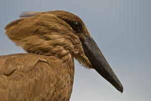 hamerkop vogel ssese island