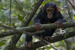 chimpansee - oeganda